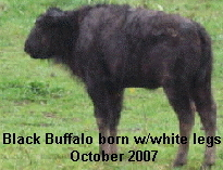 Black Buffalo with white legs