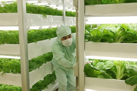 lettuce-factory