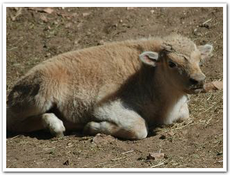 White Buffalo Bull Calf